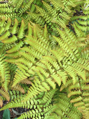 Image of Dryopteris erythrosora var. prolifica - Prolific copper shield fern