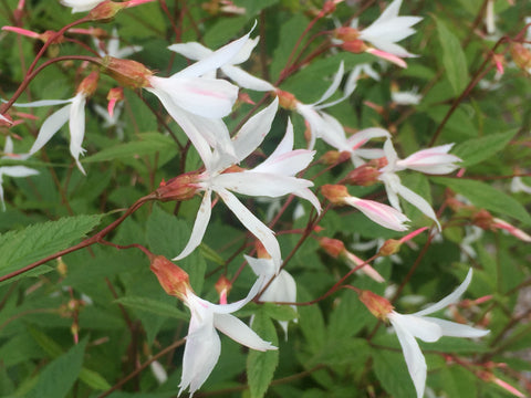 Image of Gillenia trifoliata [AGM] - Bowman's root