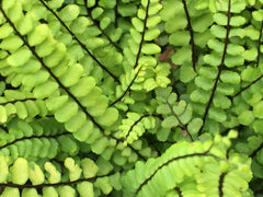Image of Asplenium trichomanes [AGM] - Maidenhair spleenwort