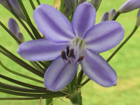 Image of Agapanthus 'Gayle's Lilac' - Nile lily variety