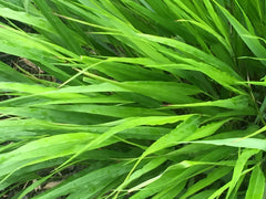Image of Hakonechloa macra [AGM] - Japanese forest grass, Hakone grass