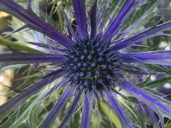Image of Eryngium x zabelii 'Big Blue' - Sea Holly variety