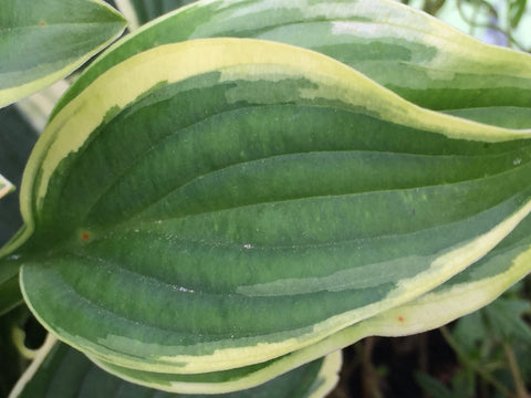 Image of Hosta 'Winsome' - Plantain lily variety