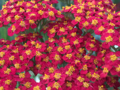 Image of Achillea 'Paprika' (Galaxy Series) - Yarrow variety