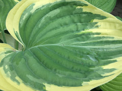 Image of Hosta 'Clifford's Forest Fire' - Plantain lily variety