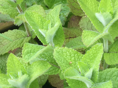 Image of Mentha suaveolens - Apple mint, round-leaved mint