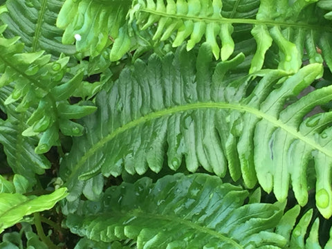 Image of Blechnum spicant [AGM] - The hard fern