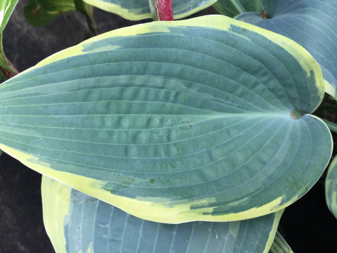 Image of Hosta 'First Frost' [AGM] - Plantain lily variety