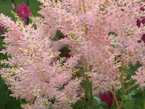 Image of Astilbe 'Europa' (Japonica hybrid)