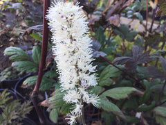 Image of Actaea simplex (Atropurpurea Group) 'Black Negligee' syn. Cimicifuga - Baneberry variety