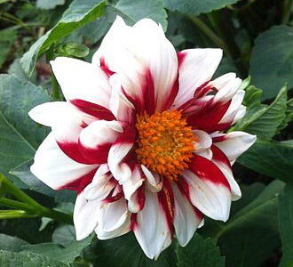 Image of Dahlia 'Fire and Ice'