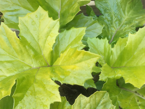Image of Acanthus mollis 'Hollard's Gold' - Bear's Breeches variety