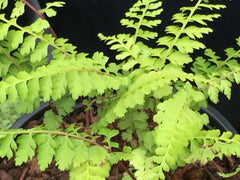 Image of Athyrium minimum