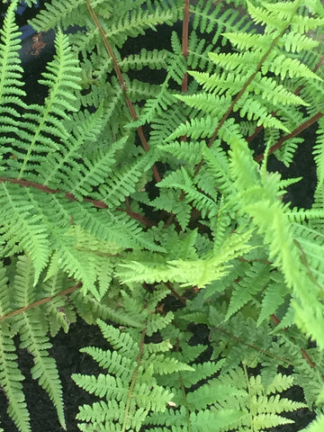 Image of Athyrium filix-femina subsp. 'angustum f. rubellum Lady in Red' [AGM] - Lady Fern variety