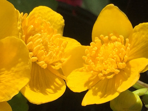 Image of Caltha palustris - Marsh marigold, Kingcup