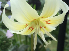 Image of Erythronium californicum 'White Beauty' [AGM] - Dog's tooth violet variety