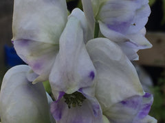 Image of Aconitum carmichaelii (Arendsii Group) 'Cloudy' (PBR) - Monk's Hood variety