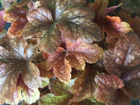 Image of x Heucherella 'Buttered Rum'
