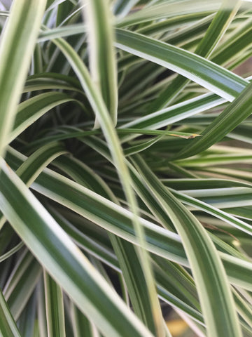 Image of Carex oshimensis [Everest] = Fiwhite