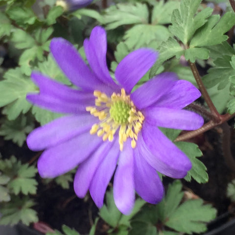 Image of Anemone blanda blue flowered syn. Anemone blanda 'Blue Shades'