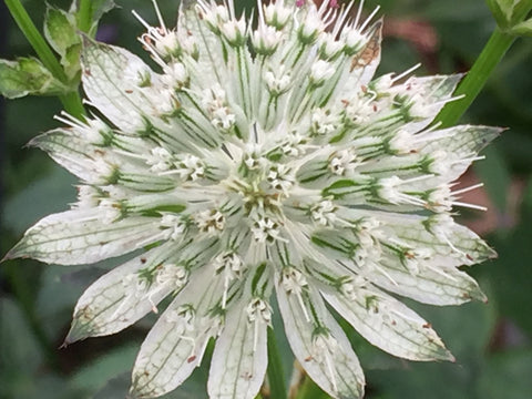 Image of Astrantia 'Snow Star'