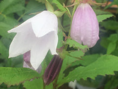 Image of Campanula 'Iridescent Bells'
