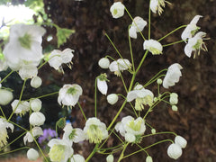 Image of Thalictrum delavayi 'Album' - White Chinese Meadow Rue