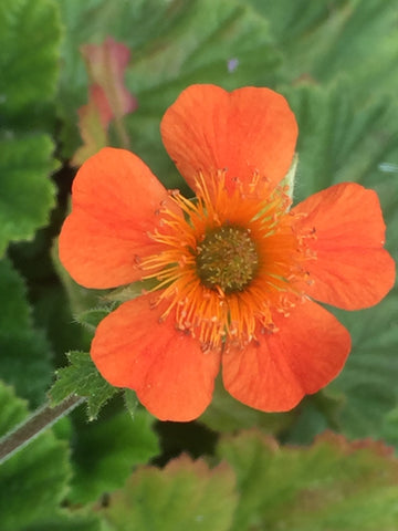 Image of Geum 'Cooky'