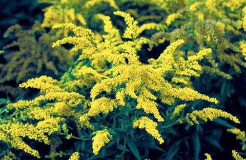Image of Solidago 'Goldkind'