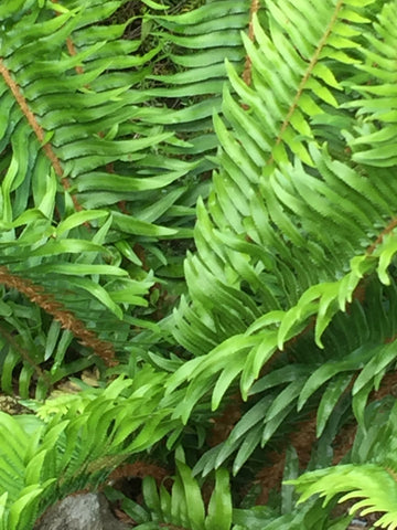 Image of Polystichum munitum [AGM] - Western Sword Fern