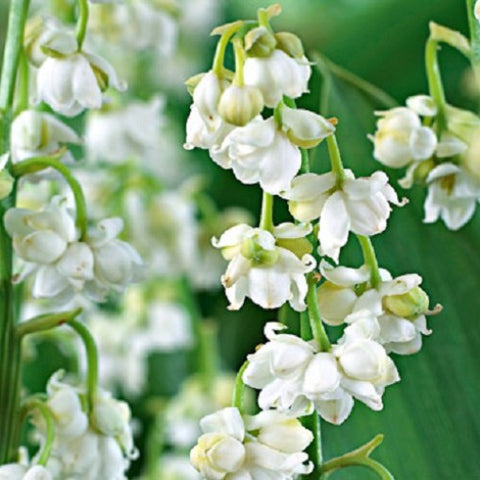 Image of Convallaria majalis 'Prolificans' - Lily of the Valley variety