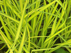 Image of Carex elata 'Aurea' - Bowles Golden Sedge