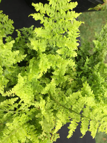 Image of Dryopteris dilatata 'Crispa Whiteside' [AGM] - Broad buckler fern variety