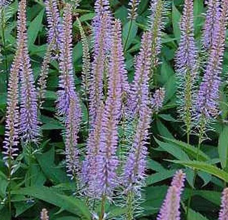 Image of Veronicastrum virginicum 'Fascination'