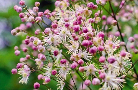 Image of Thalictrum 'Elin' [AGM]