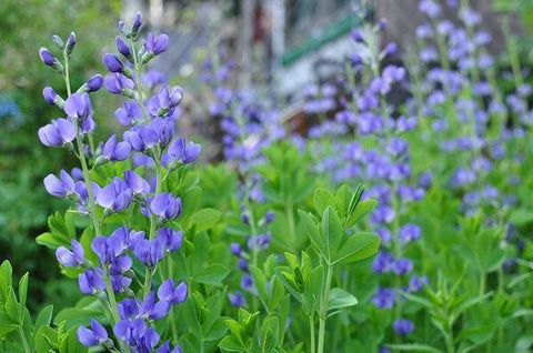 Image of Baptisia australis [AGM] - False indigo