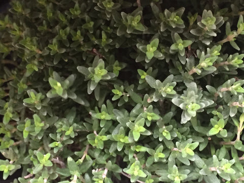 Image of Thymus vulgaris - Common, French thyme