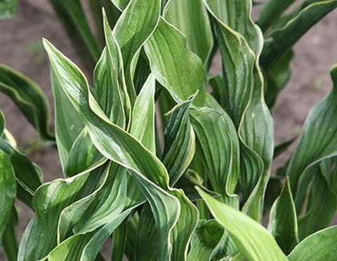 Image of Hosta 'Praying Hands' [AGM] - Plantain lily variety