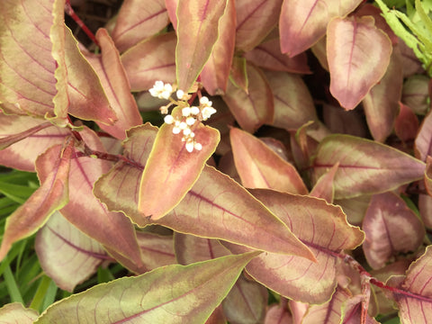 Image of Persicaria 'Silver Dragon' (PBR)