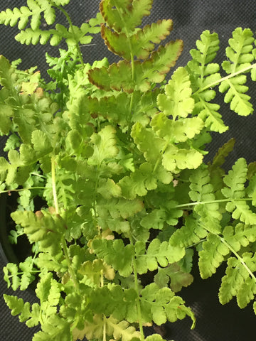 Image of Woodsia obtusa - Blunt-lobed cliff fern