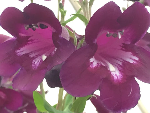 Image of Penstemon 'Raven'
