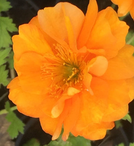 Image of Geum 'Fire Storm'