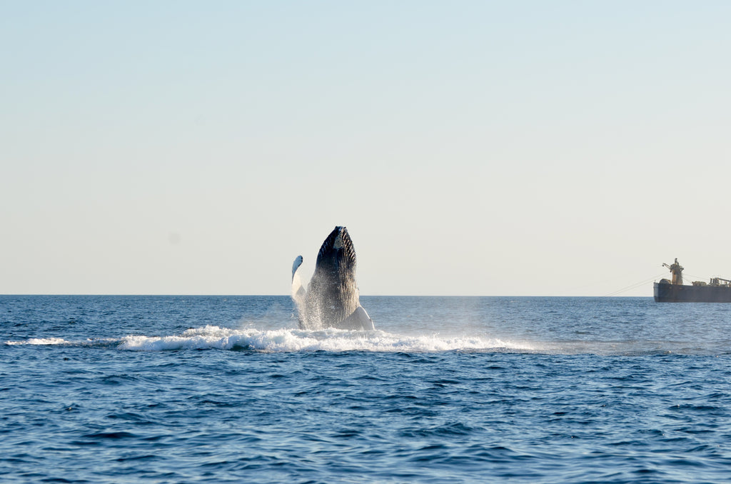 whale breaching water off of chatham ma