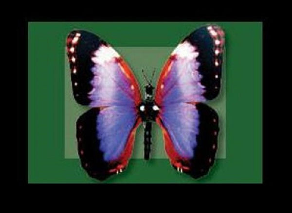 Moving Violet Morpho Butterfly