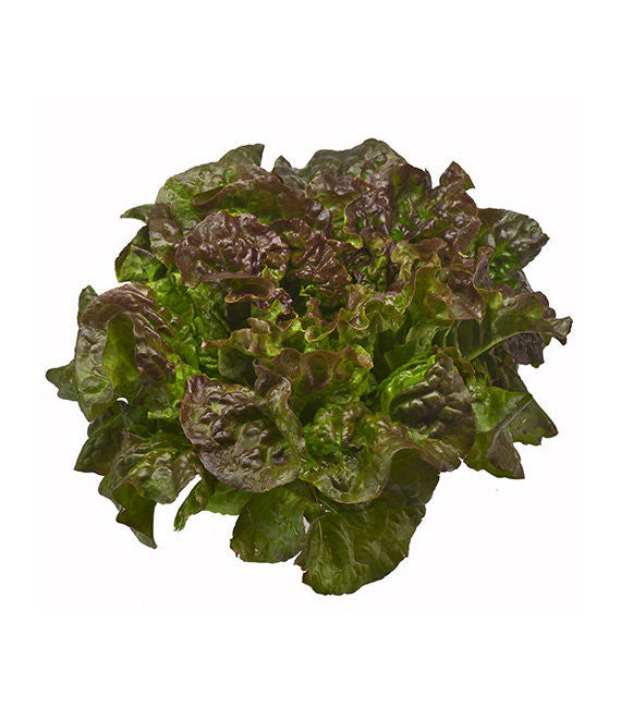 Red Boston Lettuce