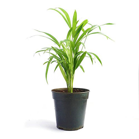 Ugaoo Areca Palm Air Purifier Natural Live Plant | SpreeIndia.com - India's First Website That Discovers Eco-Friendly Products