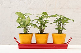 Green Gardenia Table Top Yellow Pots with Red Tray | SpreeIndia.com - India's First Website That Discovers Eco-Friendly Products