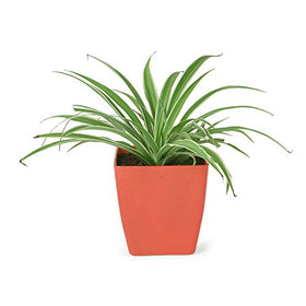 Spider Plant available in 4 different pots (Green, Red, Yellow & Blue) | SpreeIndia.com - India's First Website That Discovers Eco-Friendly Products