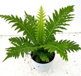 CAPPL Air Purifying Fern Plant with Pot, Fertilizer and Plate (Green) | SpreeIndia.com - India's First Website That Discovers Eco-Friendly Products