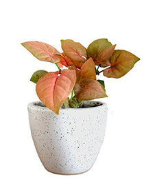 Rolling Nature Good Luck Pink Syngonium Plant in White Round Dew Ceramic Pot | SpreeIndia.com - India's First Website That Discovers Eco-Friendly Products